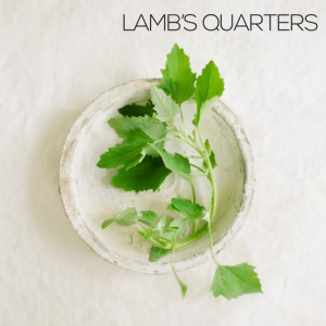 lambs quarters foraging