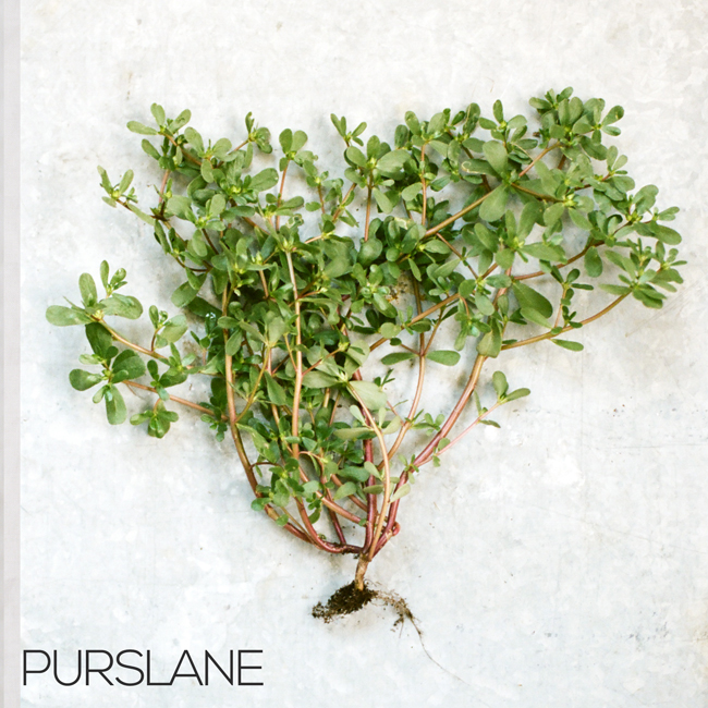 how to make purslane tea